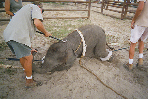Using a bullhook on a baby elephant | Credit: COURTESY WE3THINKING