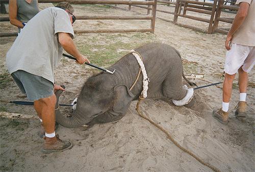 Using a bullhook on a baby elephant | Credit: COURTESY WE3THINKING