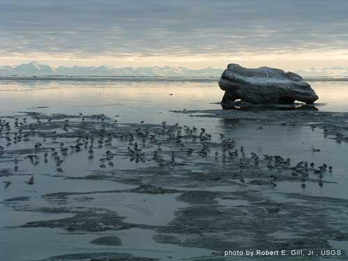Rock Sandpipers in Cook Inlet, Alaska | Credit: ROBERT GILL/US GEOLOGICAL SURVEY