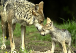 A female gray wolf gives birth to her pups in a den and nurses them for about a month. They are born deaf, blind, and tiny. | Credit: COURTESY ANIMALDISCOVERY.COM