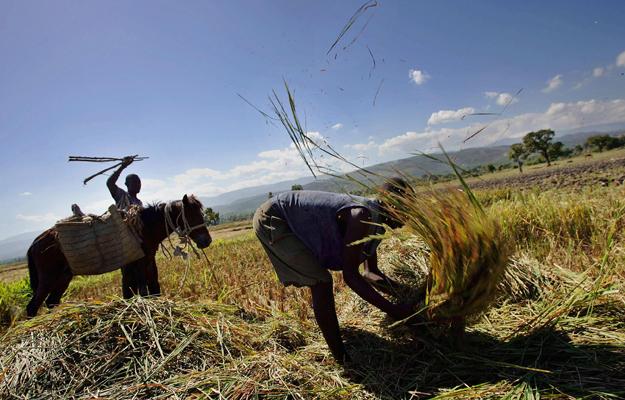 Rice farmers in Haiti are suffering. | Credit: FOREIGN POLICY