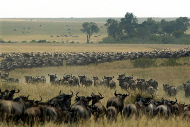 Thousands of wildebeest pass through Masai Mara National Reserve in Kenya in August 2002. | Credit: PEDRO UGARTE/GETTY IMAGES