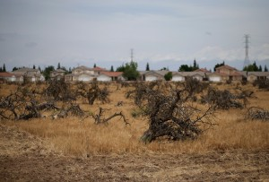 Dead trees stand in a field on April 24, 2015 in Fresno, California.