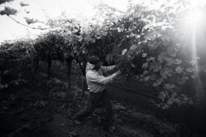 Isaac Mesa, of Jalisco, Mexico, prunes the grape vines outside the Arvin camp in Arvin, CA.