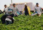 Hispanic farmworkers harvest Strawberries at a farm April 28, 2006 in Carlsbad, California. The debate in Washington continues over whether to create a temporary guest-worker program for immigrants wishing to find work in the United States.