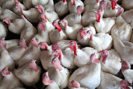 turkey_farm