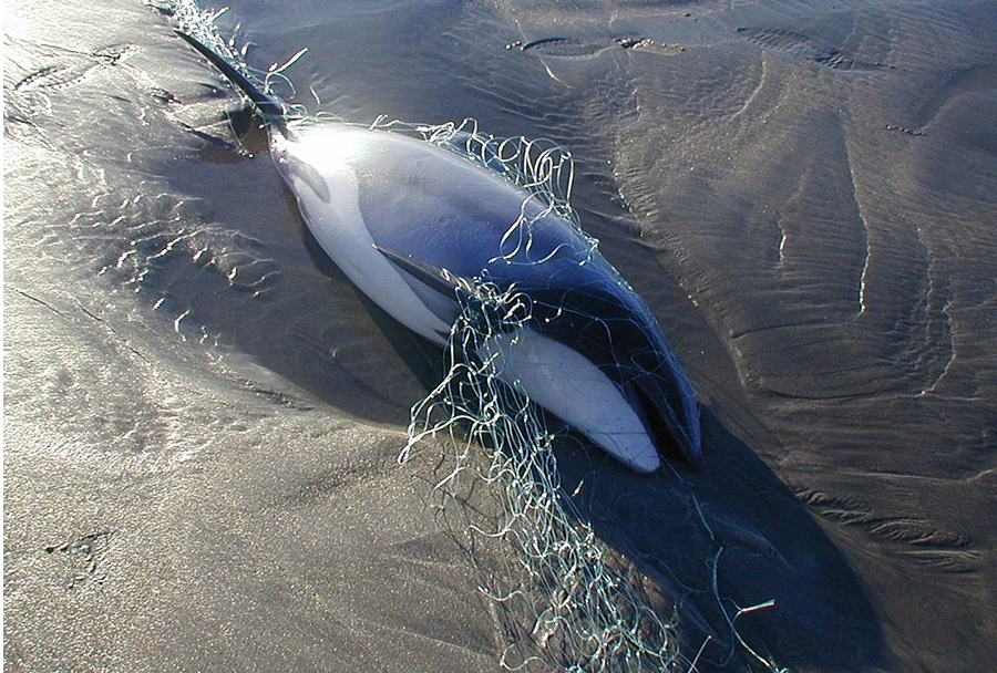 In the past three decades the dolphins' numbers have plummeted as thousands upon thousands drowned after getting caught in gill nets and towed trawl nets used by fishermen.