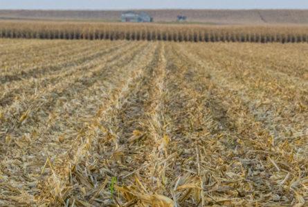 corn_crop
