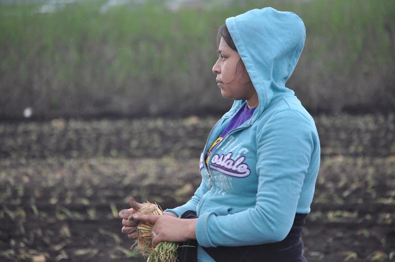 On an onion farm in Elba, NY, during planting and harvest season, about 40 percent of the workforce are women.